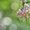 住吉神社の萩(ハギ)の花