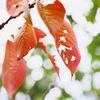 色付きはじめた桜