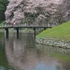 彦根城の桜1