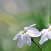 早春の野草花16(ハナニラ)