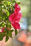 神社の山茶花(サザンカ)が咲いた3
