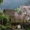奈良花巡り1(賀名生皇居跡の枝垂れ桜)