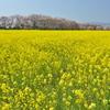 奈良藤原宮跡の菜の花と桜の競演1