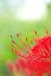 畔に咲く野草花(ヒガンバナ)