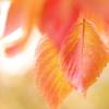 染まりゆく桜葉3