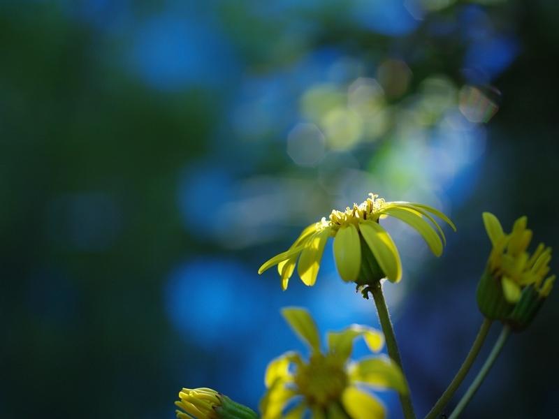 黄色い花(ツワブキ)