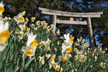 神社に咲く日本水仙(ニホンズイセン)