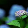 神戸は森林植物園の紫陽花3