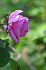 須磨離宮公園のピンク色の薔薇(バラ)