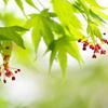春の公園に咲く伊呂波紅葉(イロハモミジ)