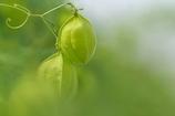 空き地に咲く野草花(フウセンカズラ)