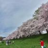 淀川河川公園背割堤の桜並木2