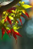 晩秋から初冬へ(神社の紅葉1)