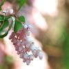 春を運ぶ花々8(アセビ)