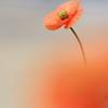 春の路傍に咲く野草花(ナガミヒナゲシ)