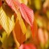 桜(サクラ)の色付き