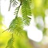 紅葉を待つ木々1(メタセコイア)