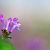 早春の野草花8(ホトケノザ)