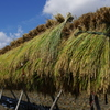 稲刈りの季節到来