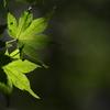 紅葉を待つ木々たち(イロハモミジ)