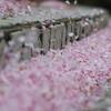公園の桜散る