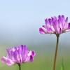 早春の野草花10(レンゲソウ)