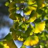 紅葉を待つ木々たち(イチョウ)