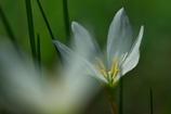 路傍に咲く野草花(タマスダレ)
