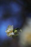神社の八重咲水仙(ヤエザキスイセン)が咲いた3