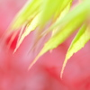 春の紅葉(モミジ)2(葉)