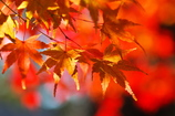 晩秋から初冬へ(神社の紅葉2)