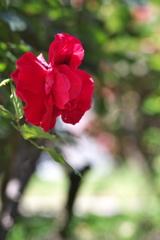 須磨離宮公園の赤色の薔薇(バラ)