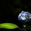 あじさい神苑の紫陽花1