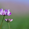 田圃の紫雲英(ゲンゲ)が咲いた