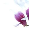 春を告げる花々(シモクレン)