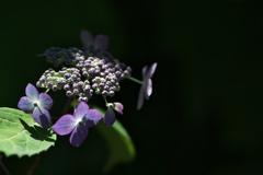 住吉神社の紫陽花(アジサイ)が咲きはじめた