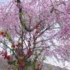 京都原谷苑の木瓜(ボケ)としだれ桜