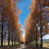 マキノのメタセコイア並木2
