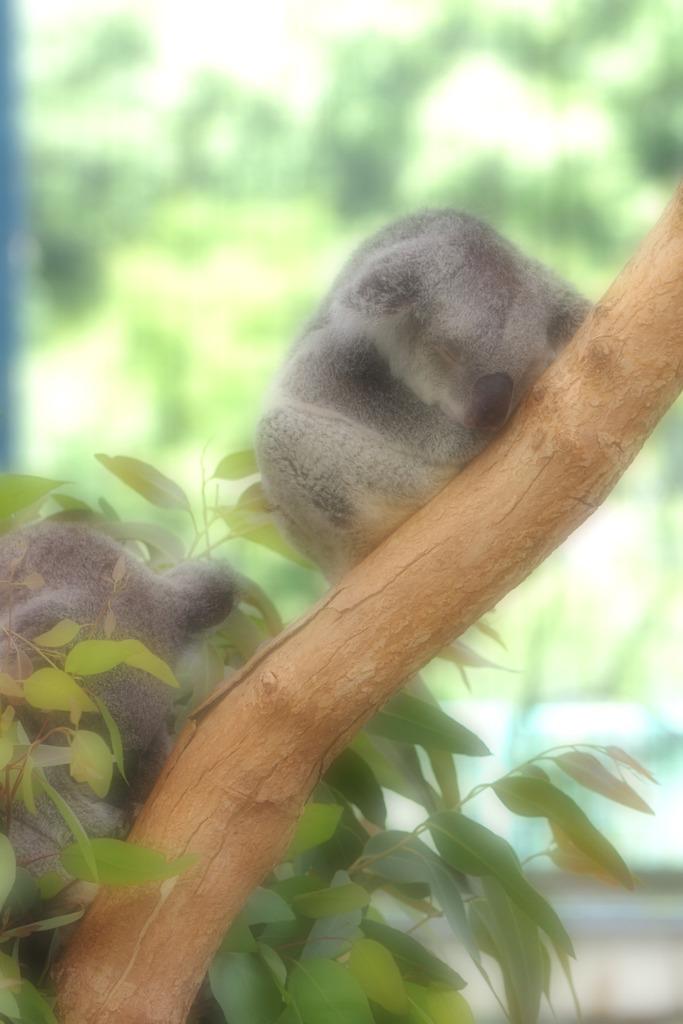 初のコアラ見学