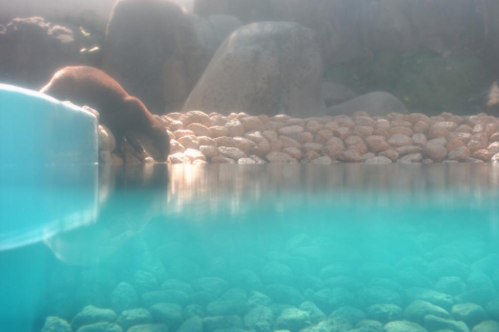 カワウソ、温泉に入る