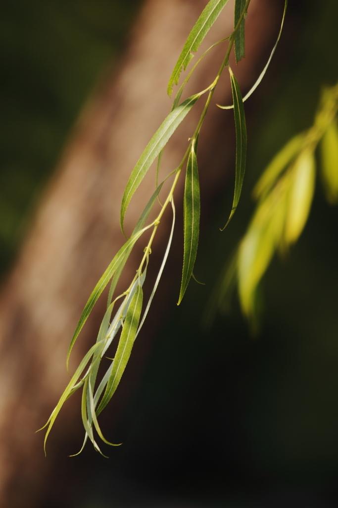風にそよぐ柳の木