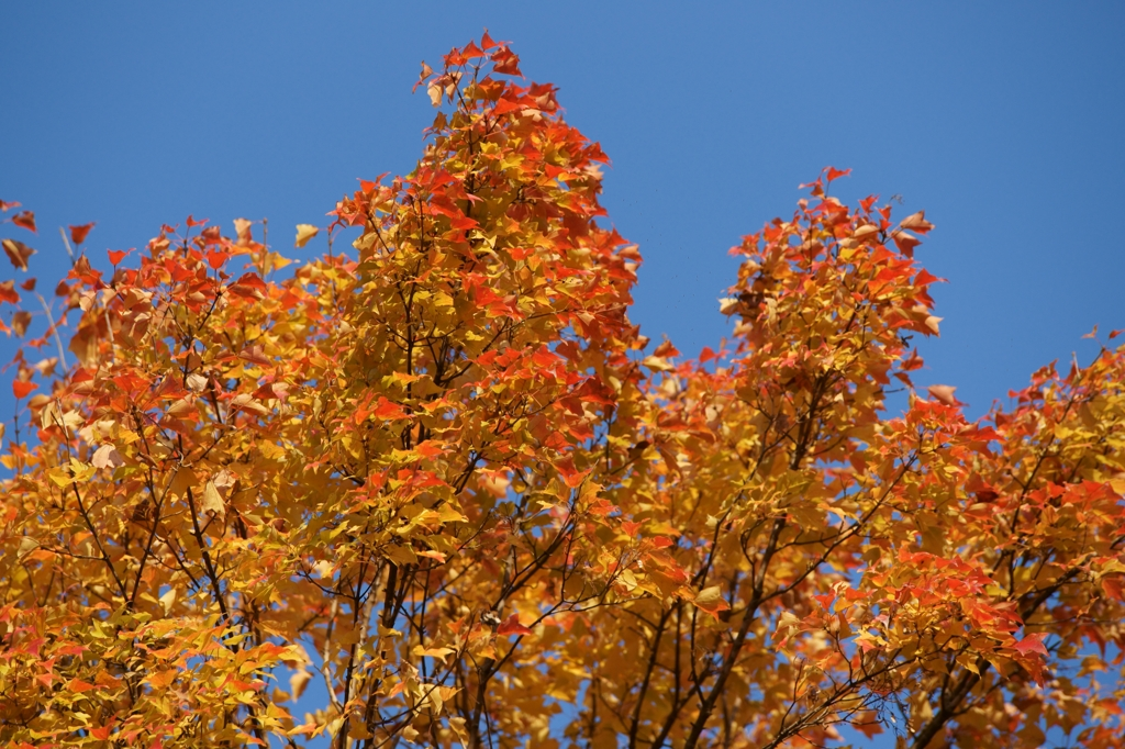 秋晴れの紅葉