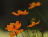 蝶になった秋桜