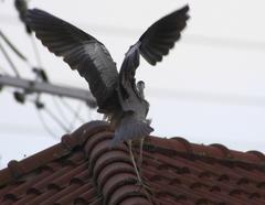 瓦屋根の上に舞い降りた青鷺