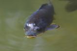 池の主(ぬし)