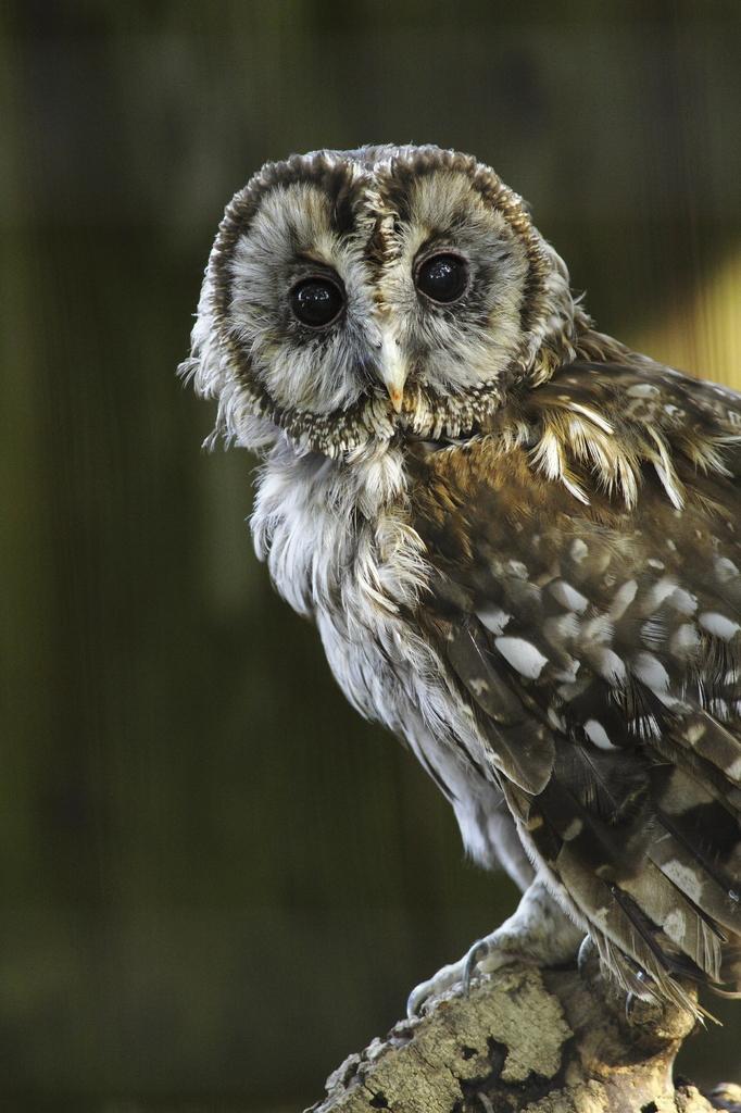 フクロウの瞳。