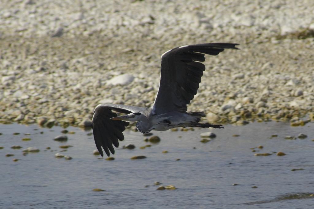 青鷺の飛翔