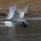 白鳥流し撮り3