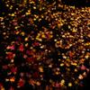 地を這う紅葉