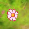 コスモス-一輪咲き